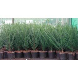 Taxus baccata p19