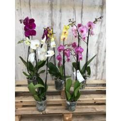 Orchidée phalaenopsis 2...