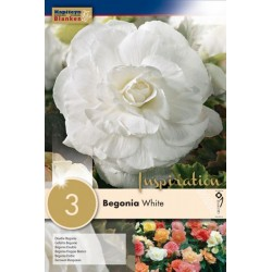 Bulbes de begonia double...
