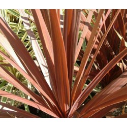 Cordyline red star (rouge) p17