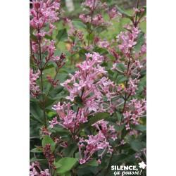 Syringa bloomerang® pink...