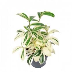Costus arabicus variegata...